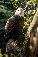 A bald eagle at the National Aviary in Pittsburgh