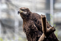 A juvenile bald eagle at the National Aviary in Pittsburgh