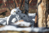 Two snowy owls at the National Aviary in Pittsburgh