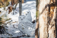 Snowy owls stand in the snow at the National Aviary in Pittsburgh