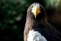 A beautiful Steller's Sea Eagle at the National Aviary in Pittsburgh