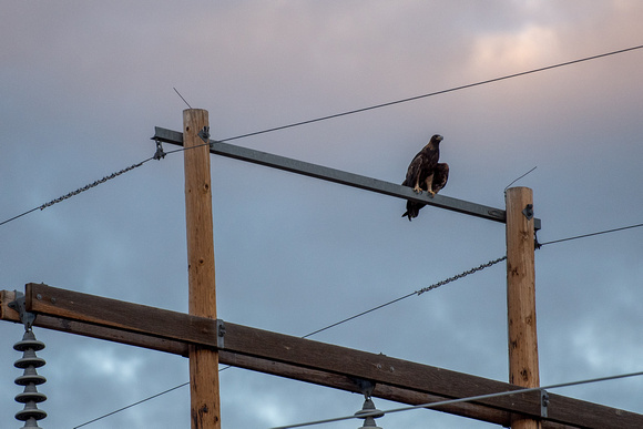 A golden eagle sits on a telephone wire in Colorado
