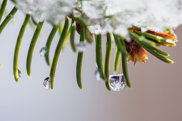 A macro view of a ball of ice on an evergreen