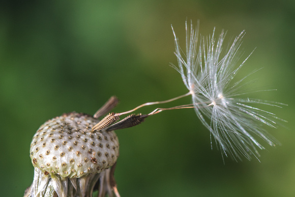A dandelion seed hangs precariously on the stem