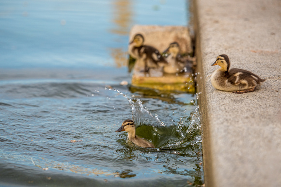 Ducklings splash into the Reflecting Pool in Washington DC