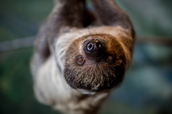 Valentino the sloth at the National Aviary in Pittsburgh