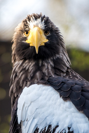 A  Steller's Sea Eagle at the National Aviary in Pittsburgh