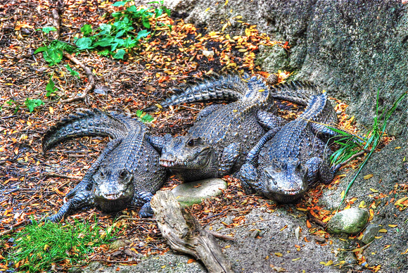 Three alligators at the Pittsburgh Zoo