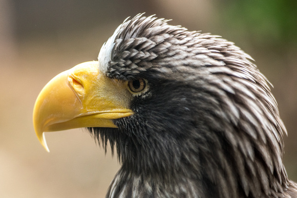Profile view of the A  Steller's Sea Eagle at the National Aviary in Pittsburgh